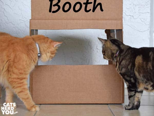 orange tabby cat and brown tabby cat look at kissing booth