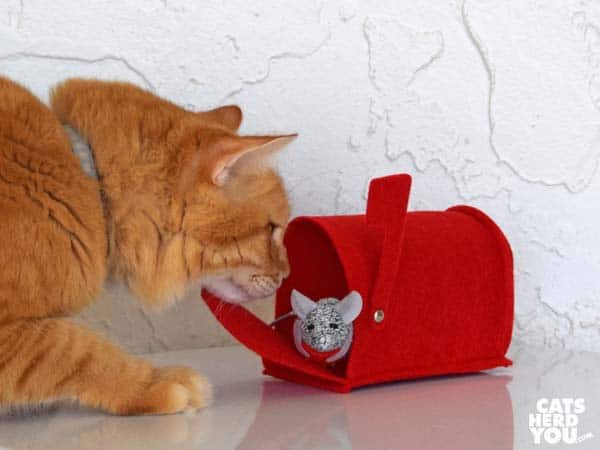 orange tabby cat looks at mouse in mailbox