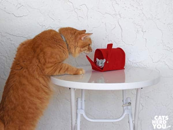 orange tabby cat looks at valentine mouse in mailbox on small, tall table