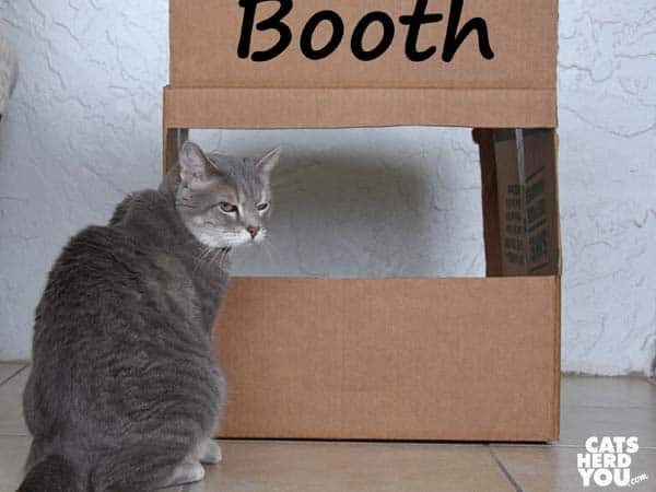 gray tabby cat in front of kissing booth