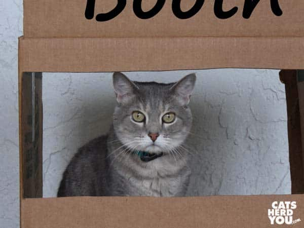 gray tabby cat in kissing booth
