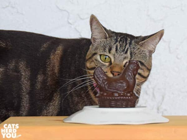one-eyed brown tabby cat and chocolate chicken