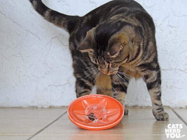 one-eyed brown tabby cat plays with UFO