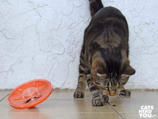 one-eyed brown tabby cat eats treat