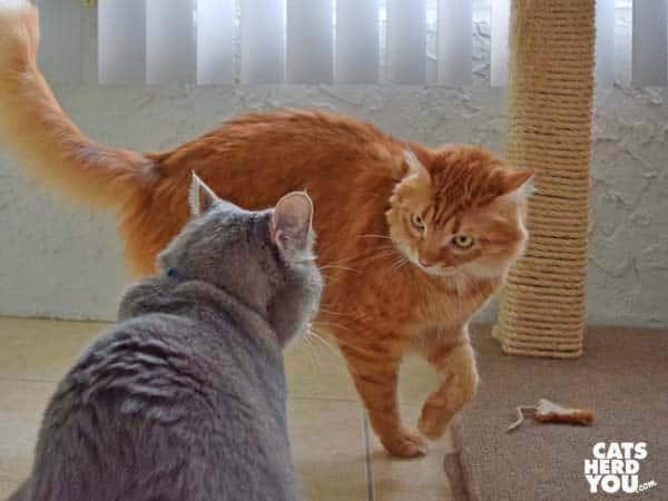 orange tabby cat circles gray tabby cat