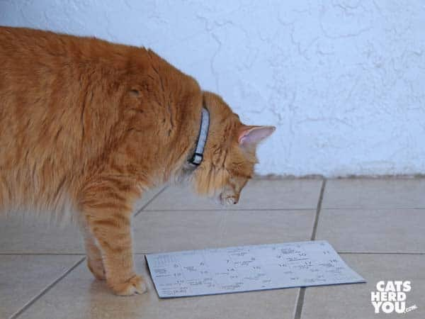 orange tabby cat looks at calendar