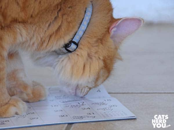 orange tabby cat sniffs calendar