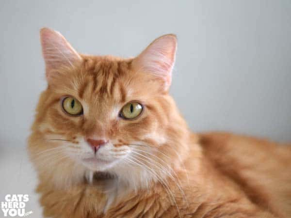 orange mediumhair tabby cat