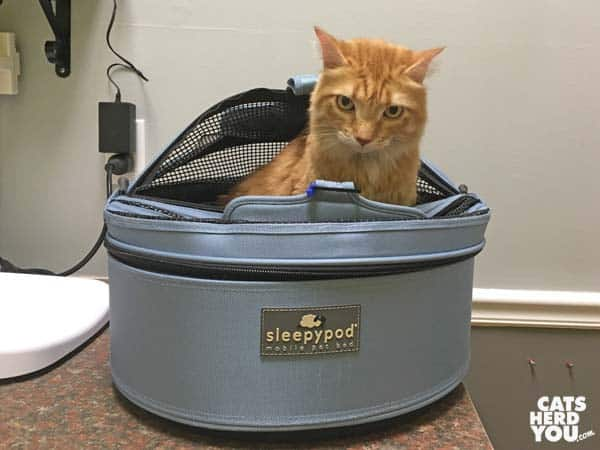 orange tabby cat in Sleepypod carrier at vet