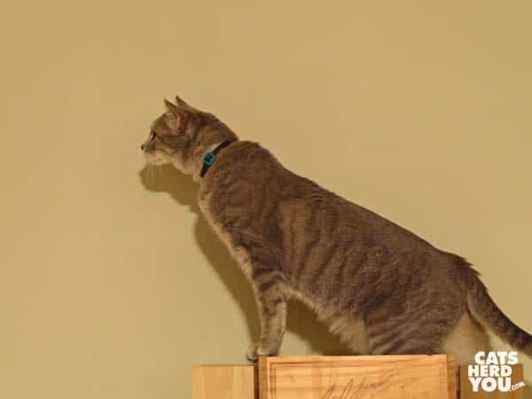 gray tabby cat stretches tall on cat tree