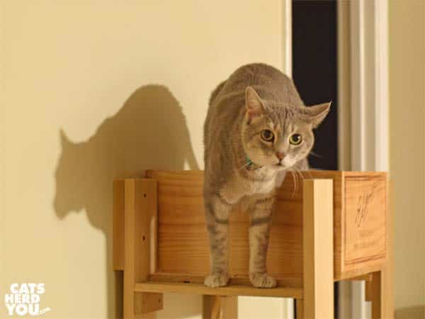 gray tabby cat stands on cat tree