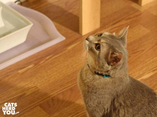 gray tabby cat looks upward