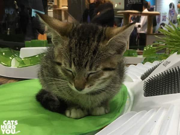 pago kitten