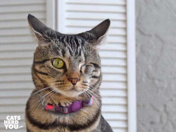 one-eyed brown tabby cat with eears back