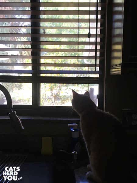 buff tabby cat looks out kitchen window