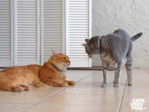 orange tabby cat and gray tabby cat face off