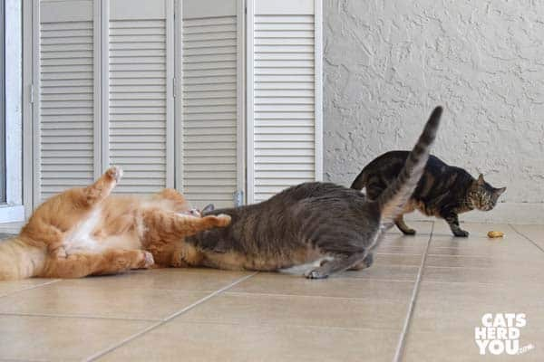 orange tabby cat wrestles with gray tabby cat while one-eyed brown tabby cat looks on