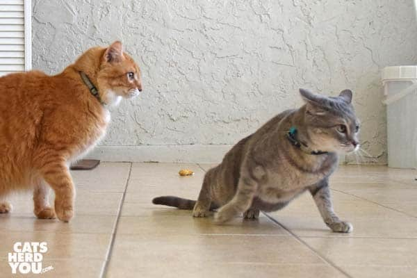 gray tabby cat flees orange tabby cat