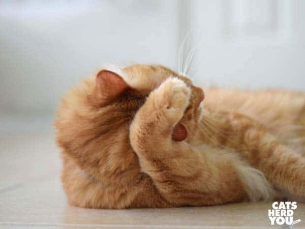 Orange tabby cat rubs paw over ear