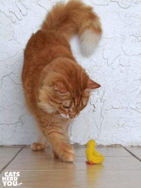 orange tabby cat and duckling toy