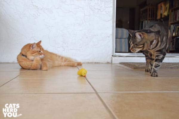 orange tabby cat and one-eyed brown tabby cat look at duckling toy