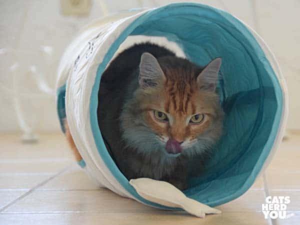 orange tabby cat inside fish tunnel