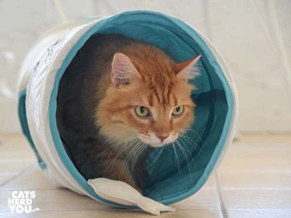orange tabby cat exits fish tunnel