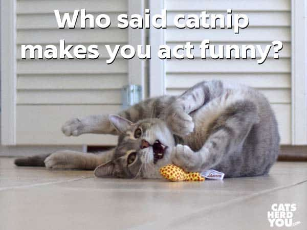 Gray tabby cat: Who said catnip makes you act funny?