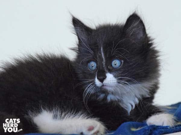 Armani from Random Felines