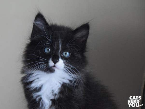 Armani, longhaired black and white tuxedo kitten