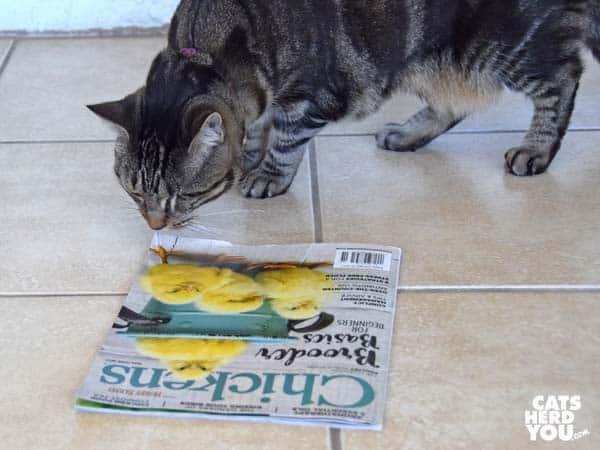 one-eyed brown tabby cat reads chicken magazine