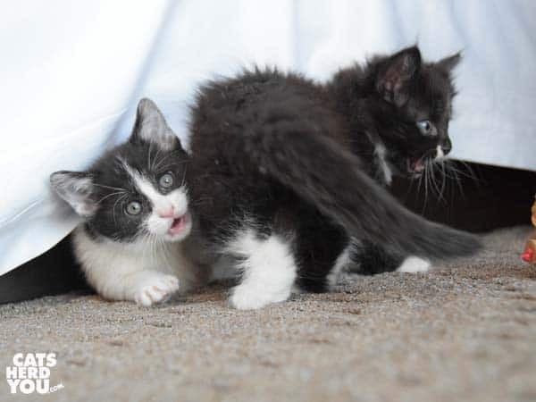 tuxedo kittens play