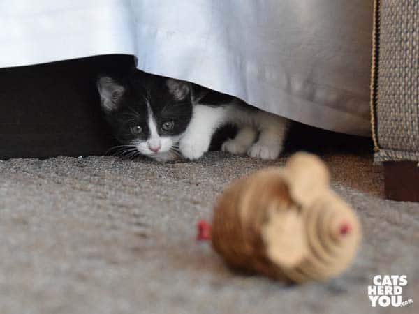 black and white kitten peeks out from under bed skirt at toy