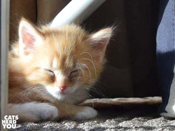 orange tabby kitten sunbathing