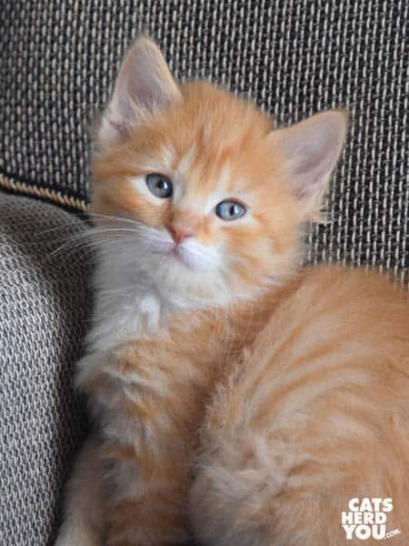 Gucci, longhaired orange tabby kitten
