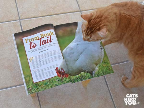 orange tabby cat reads chicken magazine