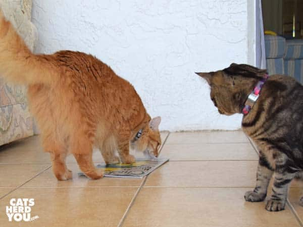 orange tabby cat reads chicken magazine while brown tabby cat looks on