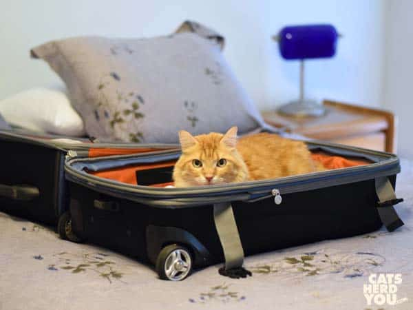Orange tabby cat in luggage