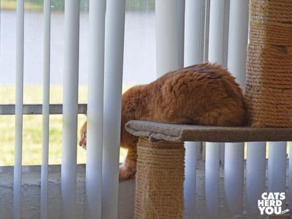 orange tabby cat peeks out open window