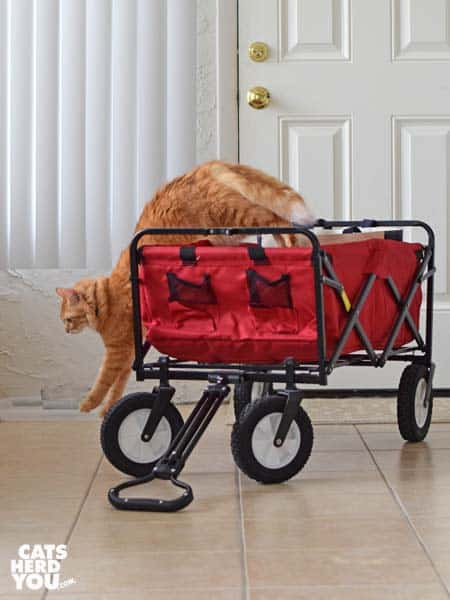 orange tabby cat jumps out of red wagon