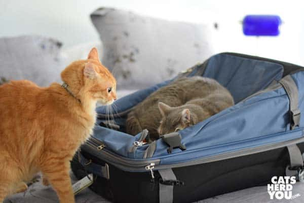 orange tabby cat looks at gray tabby cat on suitcase