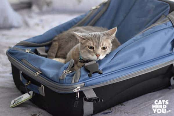 gray tabby cat on suitcase