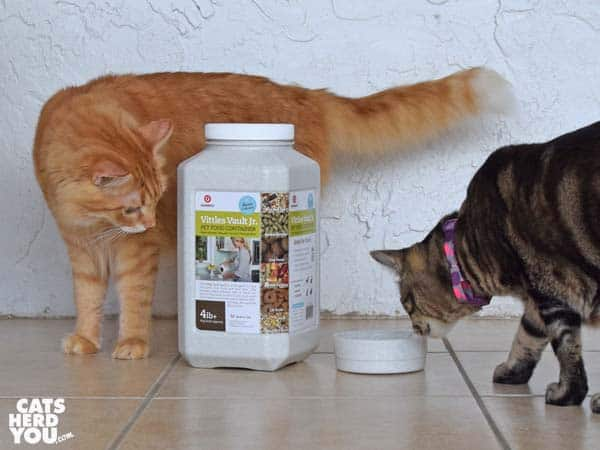 orange tabby cat and one-eyed brown tabby cat look at Vittles Vault Jr Lid