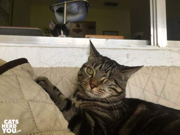 tuxedo kitten lurks behind one-eyed brown tabby cat