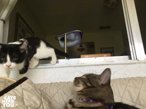 one-eyed brown tabby cat watches tuxedo kitten