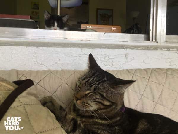 one-eyed brown tabby cat notices tuxedo kitten