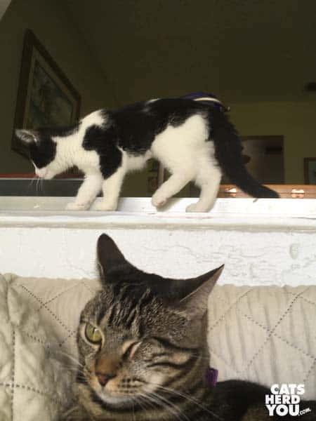 tuxedo kitten walks behind one-eyed brown tabby cat