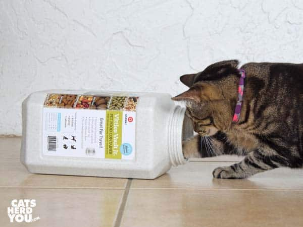 one-eyed brown tabby cat puts paw into Vittles Vault Jr.