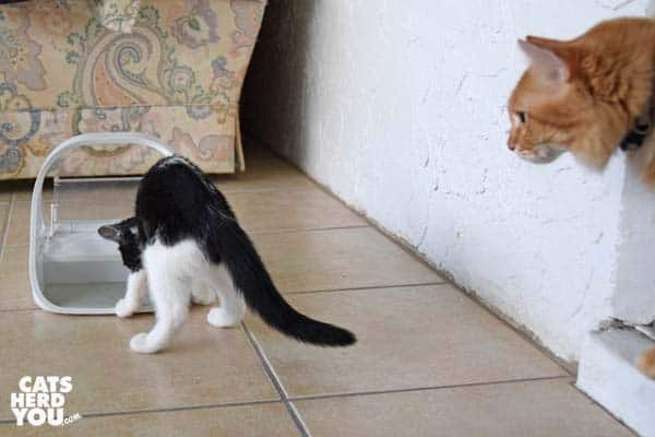 orange tabby cat looks out door at tuxedo kitten playing in surefeed microchip feeder