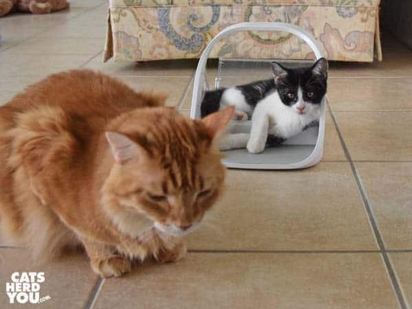 orange tabby cat itnores tuxedo kitten in surefeed microchip feeder